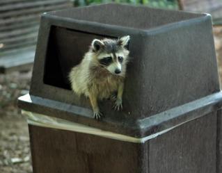 raccoon trash can